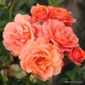 rose_orange_strauchrose_lambada_kordes_7.jpg