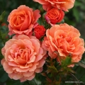 rose_orange_strauchrose_lambada_kordes_4.jpg