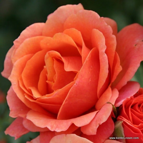 rose_orange_strauchrose_lambada_kordes_1.jpg